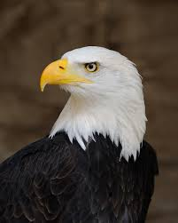 Bald eagle (Wikipedia)