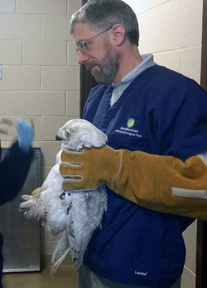 Veterinary technician Peter Flowers holds the snowy owl for an exam after the bird was struck by a Metro bus. (Photo Credit: Jen Zoon, Smithsonian's National Zoo)